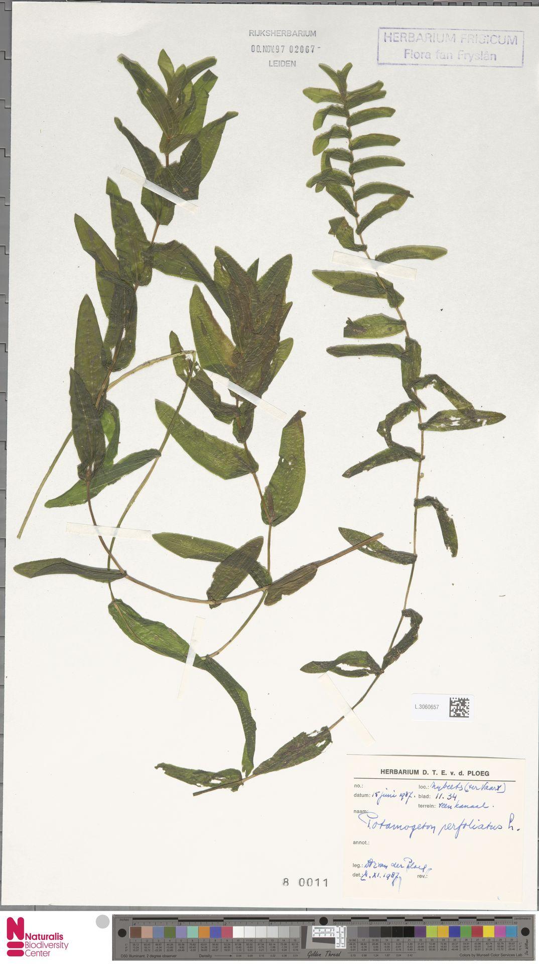 L.3060657 | Potamogeton perfoliatus L.