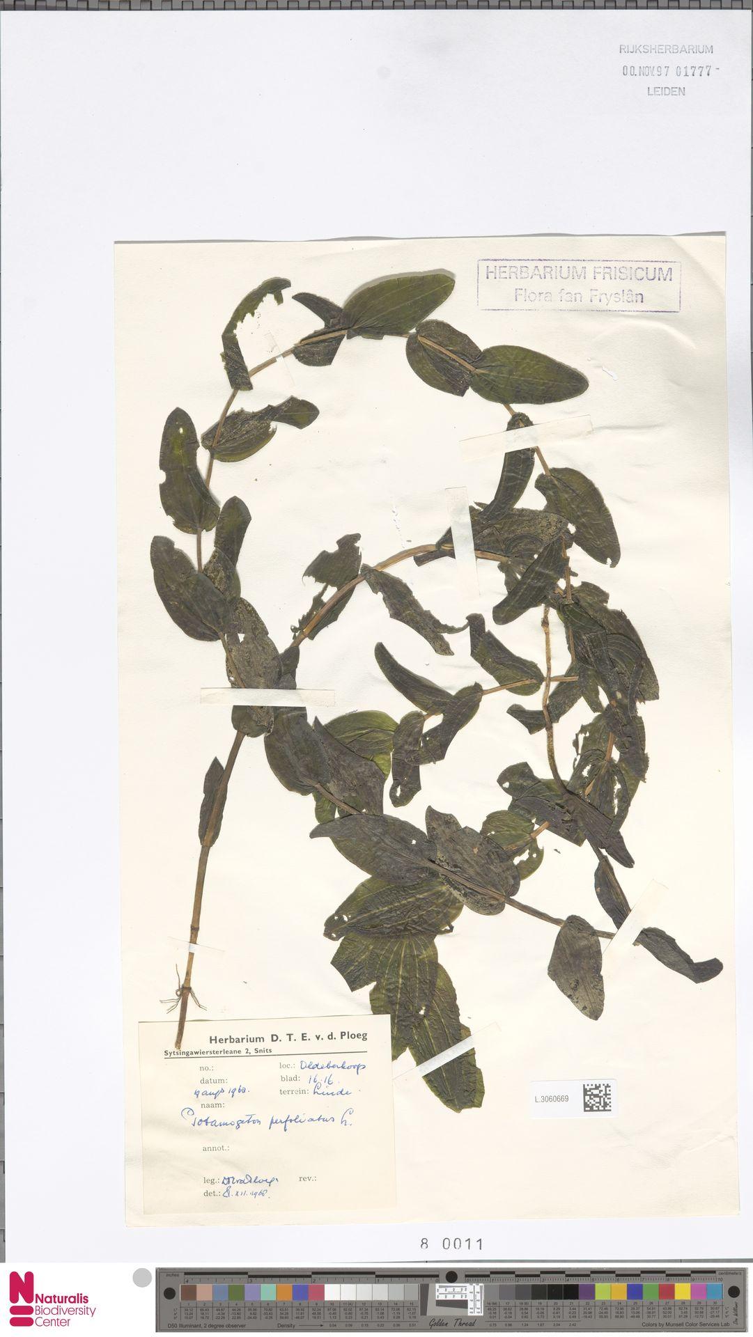 L.3060669 | Potamogeton perfoliatus L.
