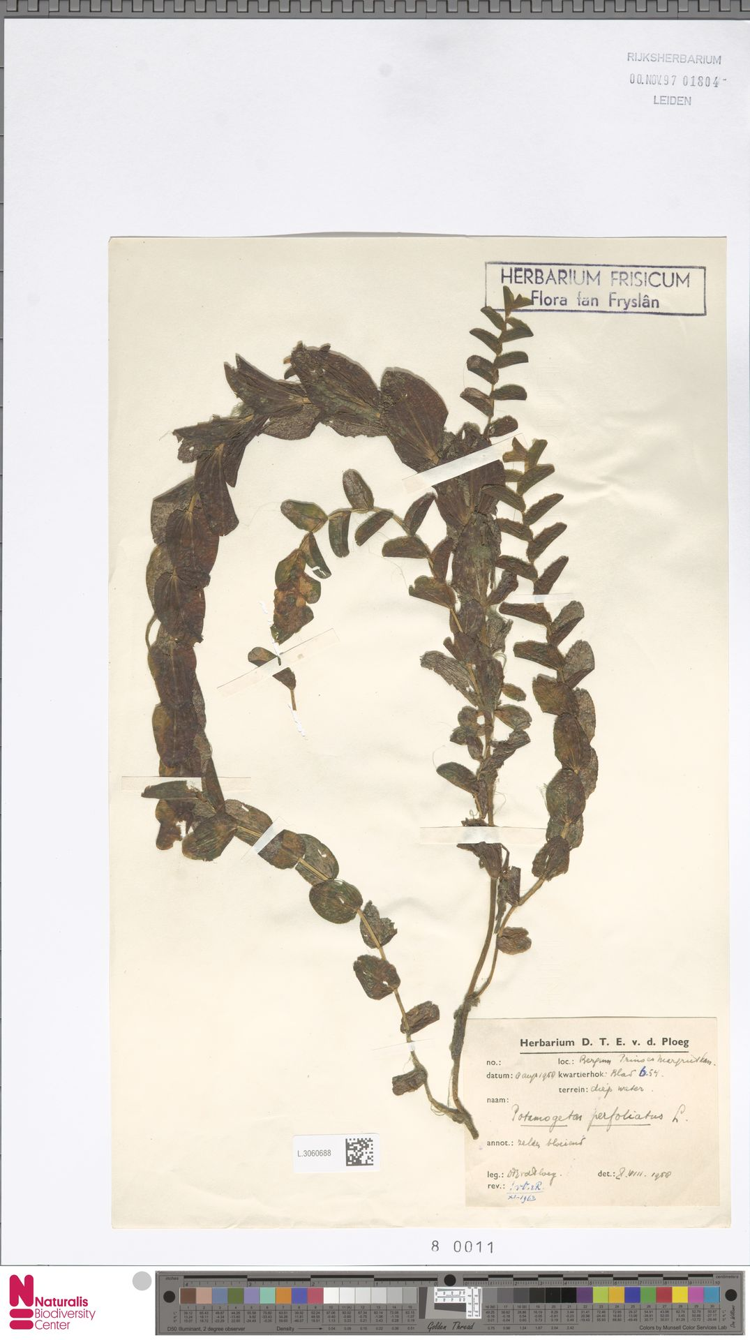 L.3060688   Potamogeton perfoliatus L.