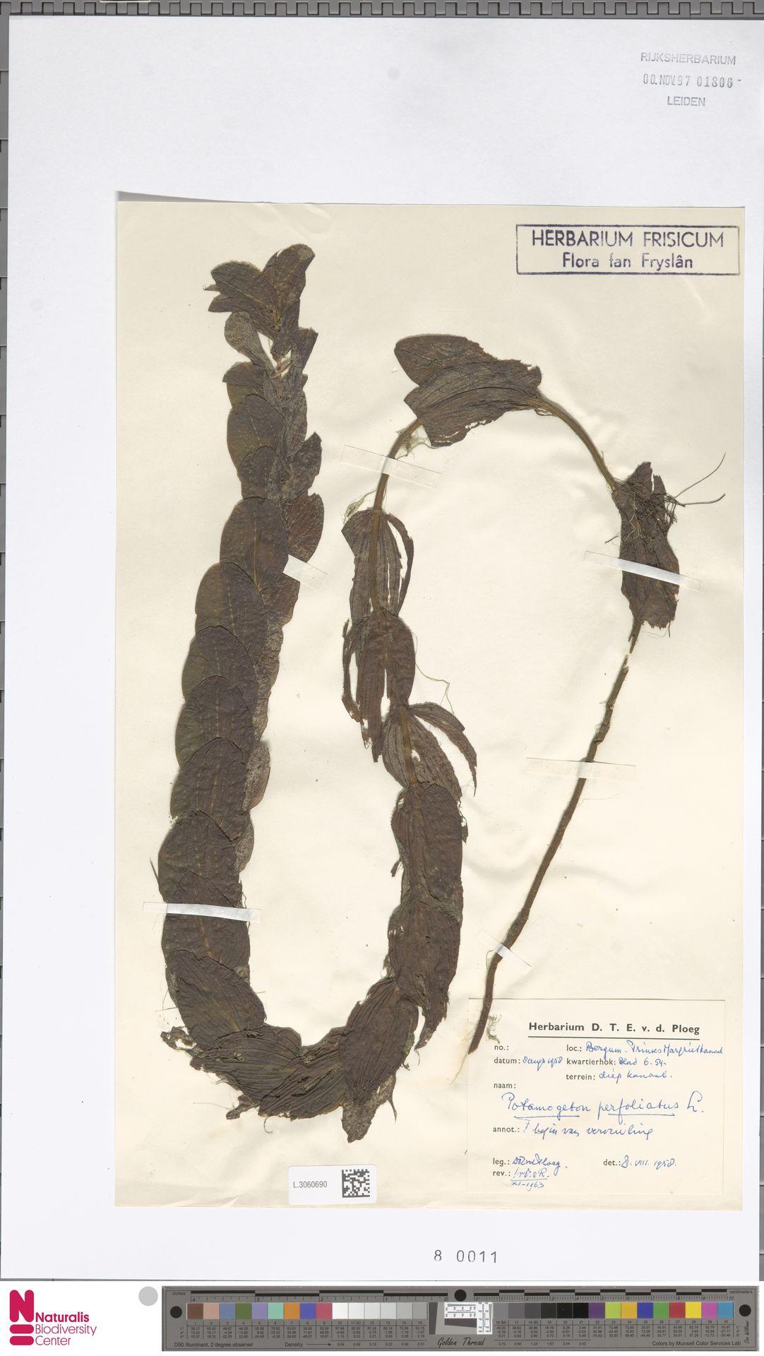 L.3060690   Potamogeton perfoliatus L.