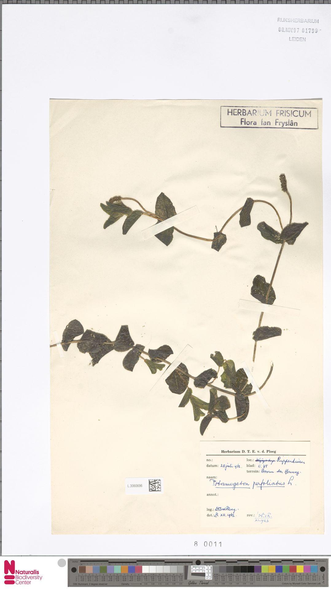 L.3060696   Potamogeton perfoliatus L.