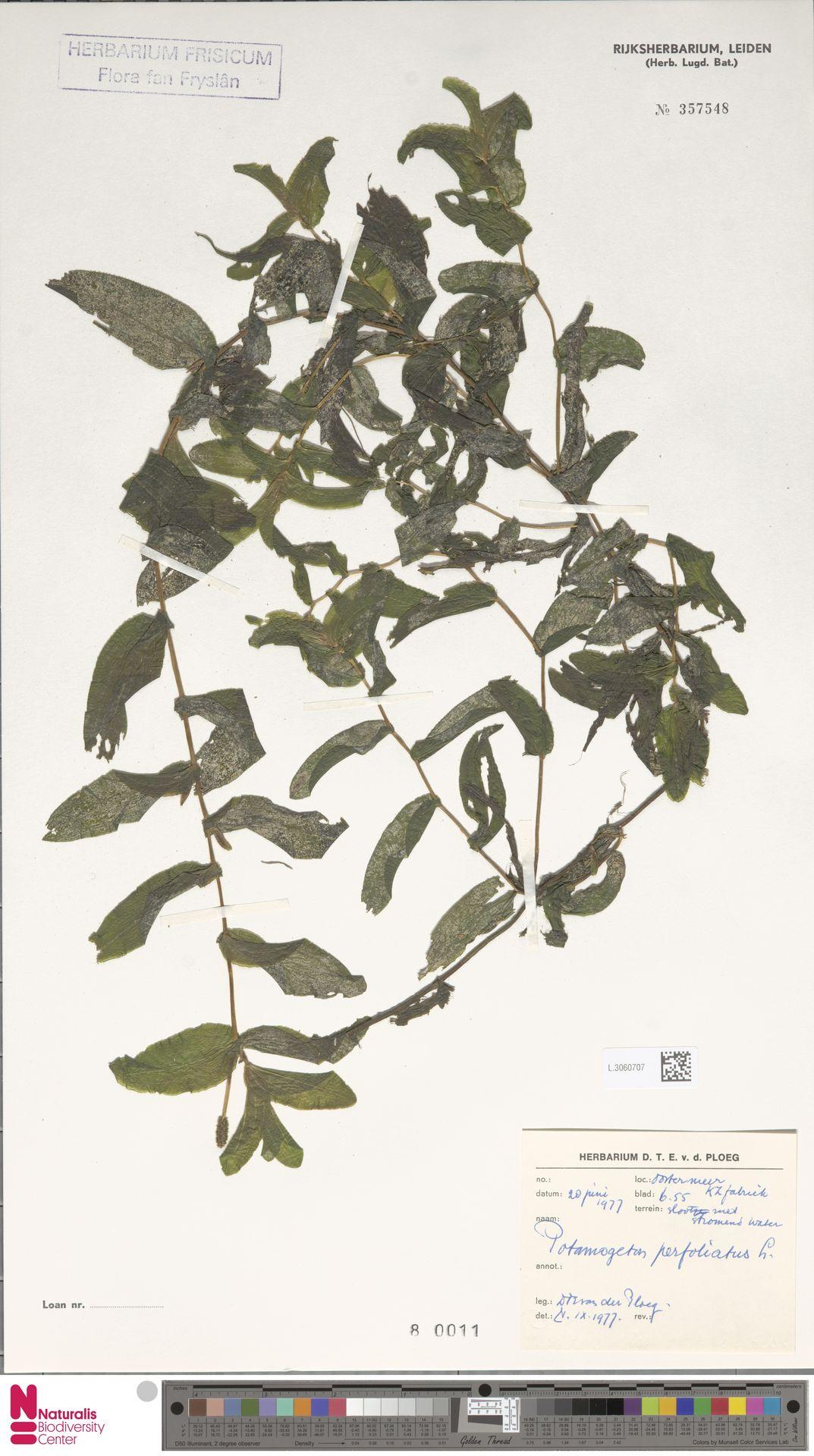 L.3060707 | Potamogeton perfoliatus L.