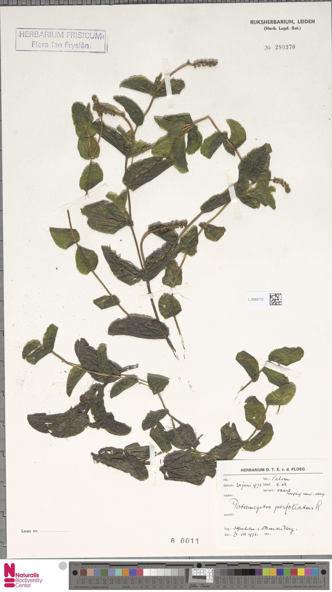L.3060710 | Potamogeton perfoliatus L.