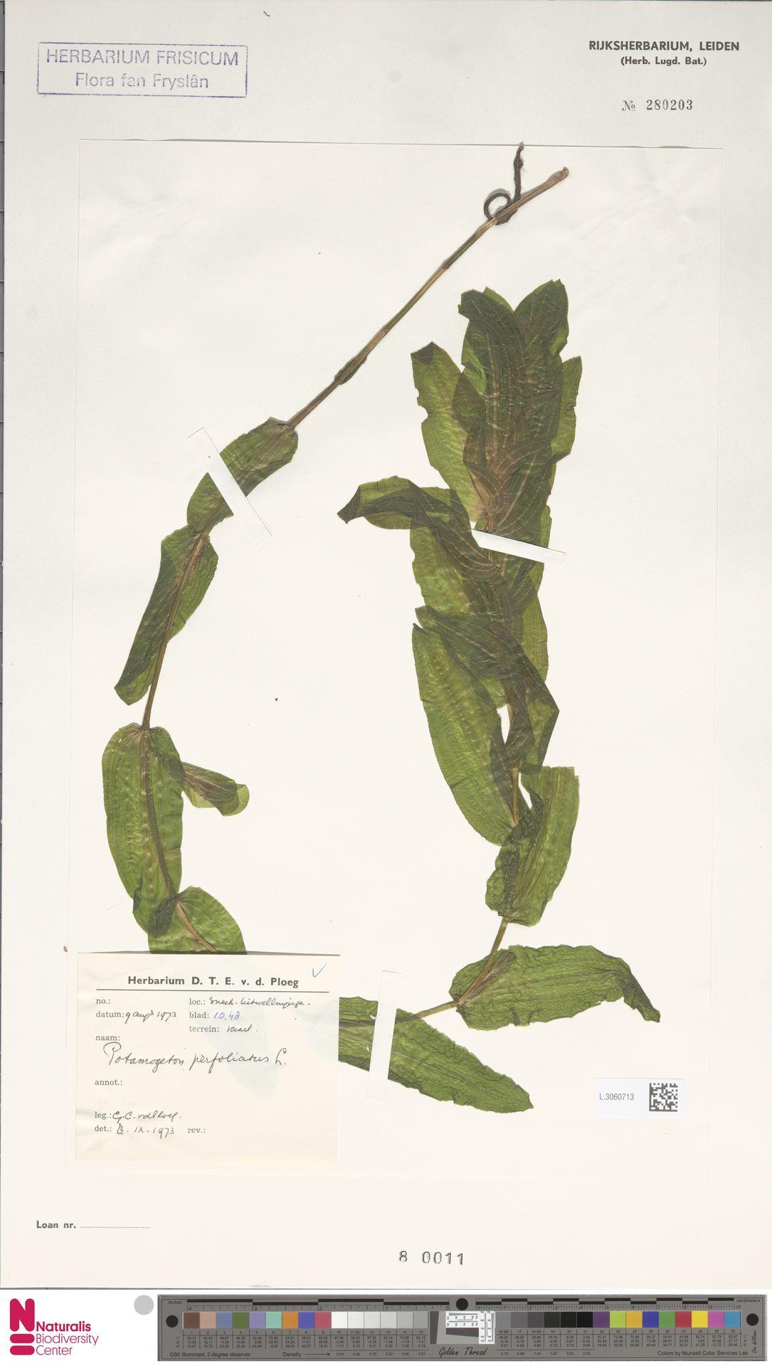 L.3060713 | Potamogeton perfoliatus L.