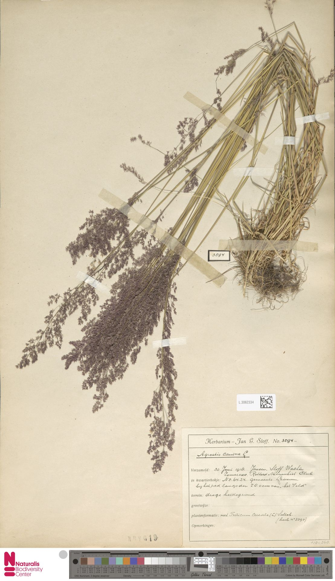 L.3062334   Agrostis canina L.