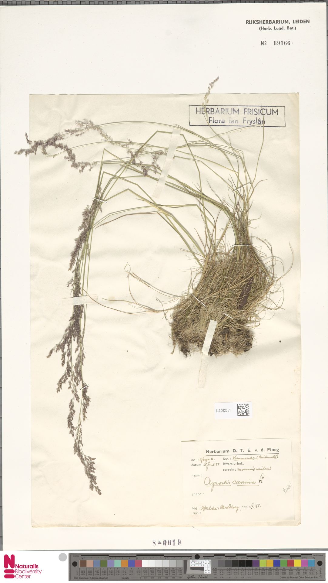 L.3062551 | Agrostis canina L.