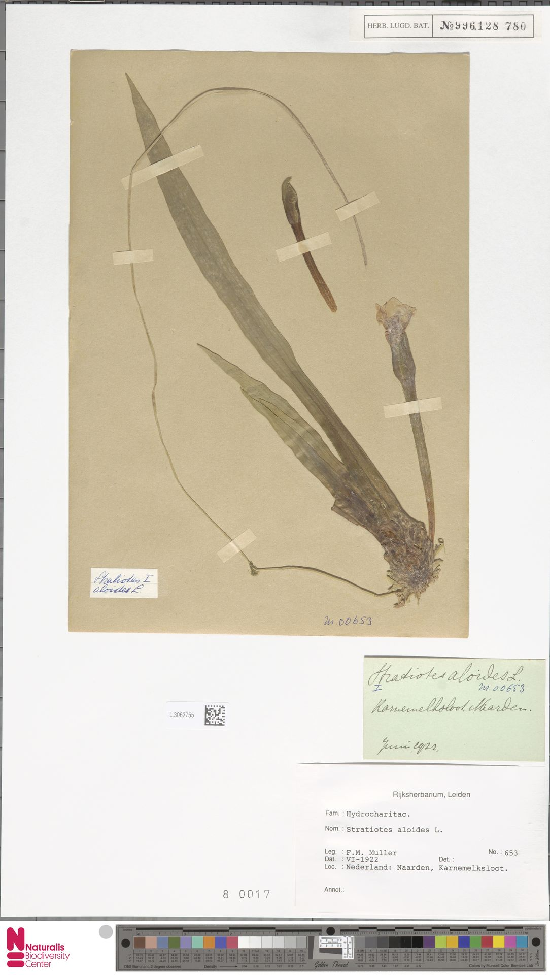 L.3062755   Stratiotes aloides L.