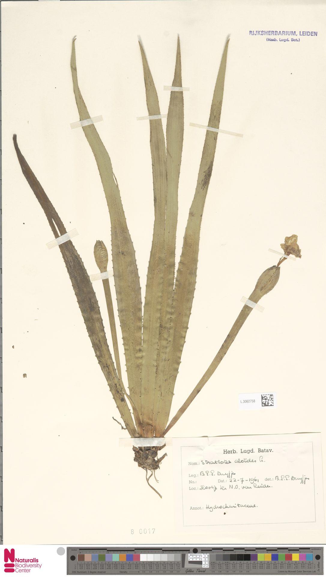 L.3062758 | Stratiotes aloides L.