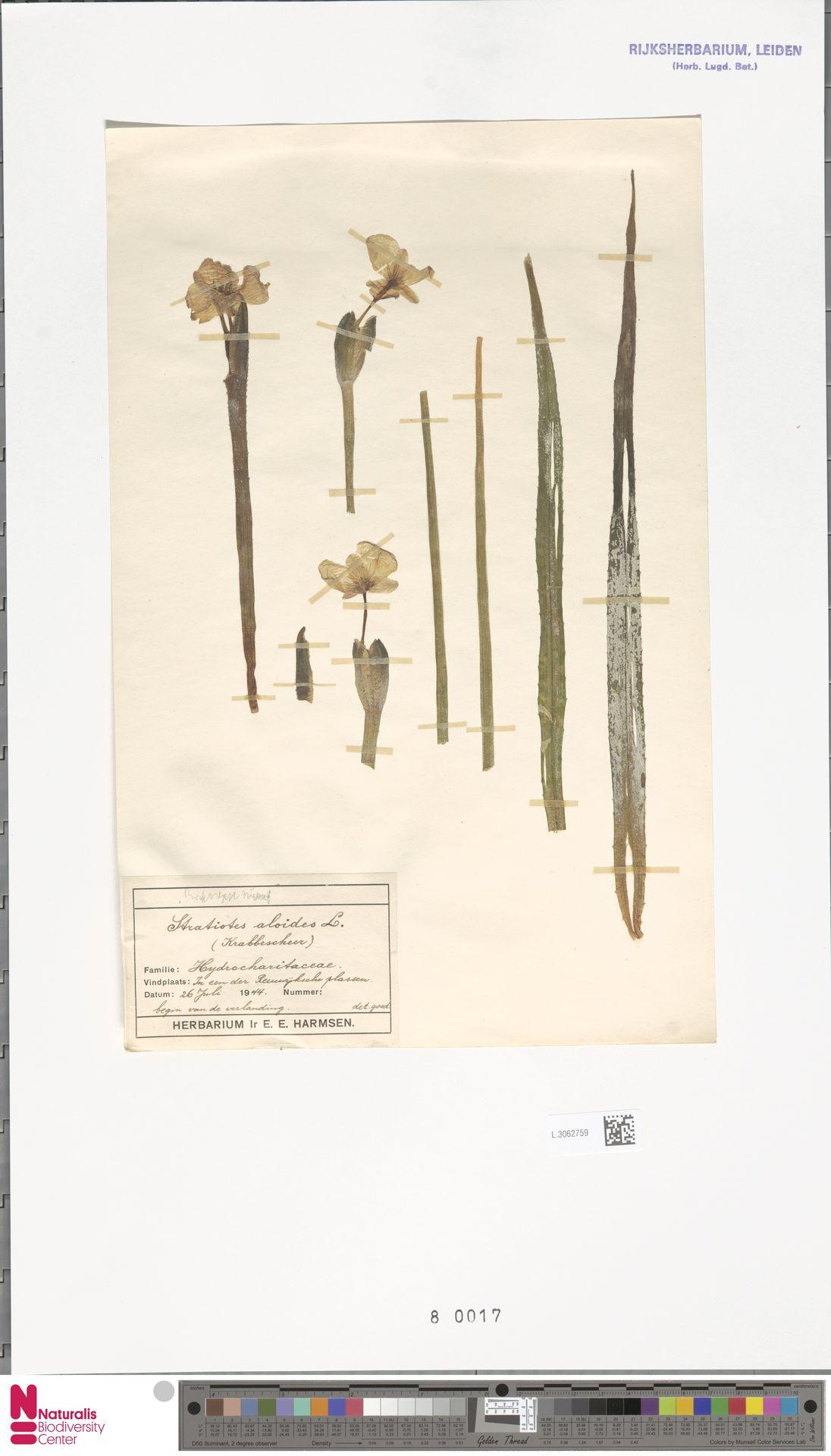 L.3062759 | Stratiotes aloides L.