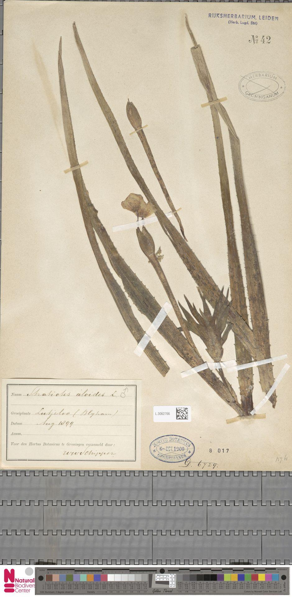 L.3062766 | Stratiotes aloides L.