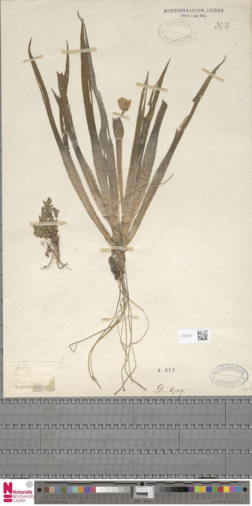 L.3062767 | Stratiotes aloides L.