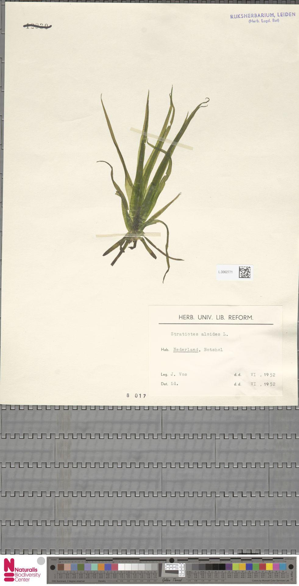 L.3062771 | Stratiotes aloides L.