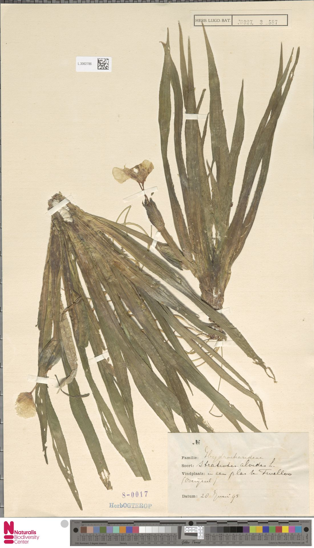 L.3062786 | Stratiotes aloides L.
