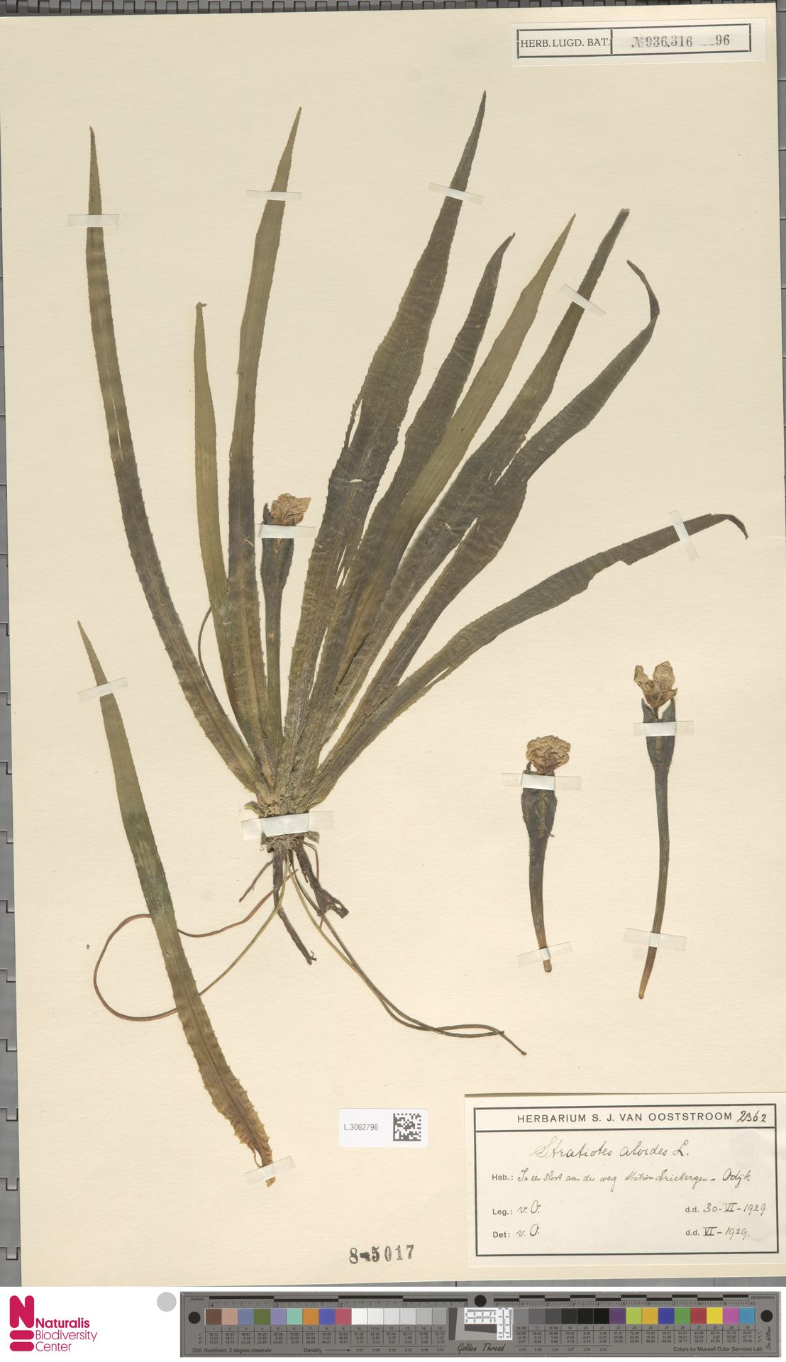 L.3062796 | Stratiotes aloides L.