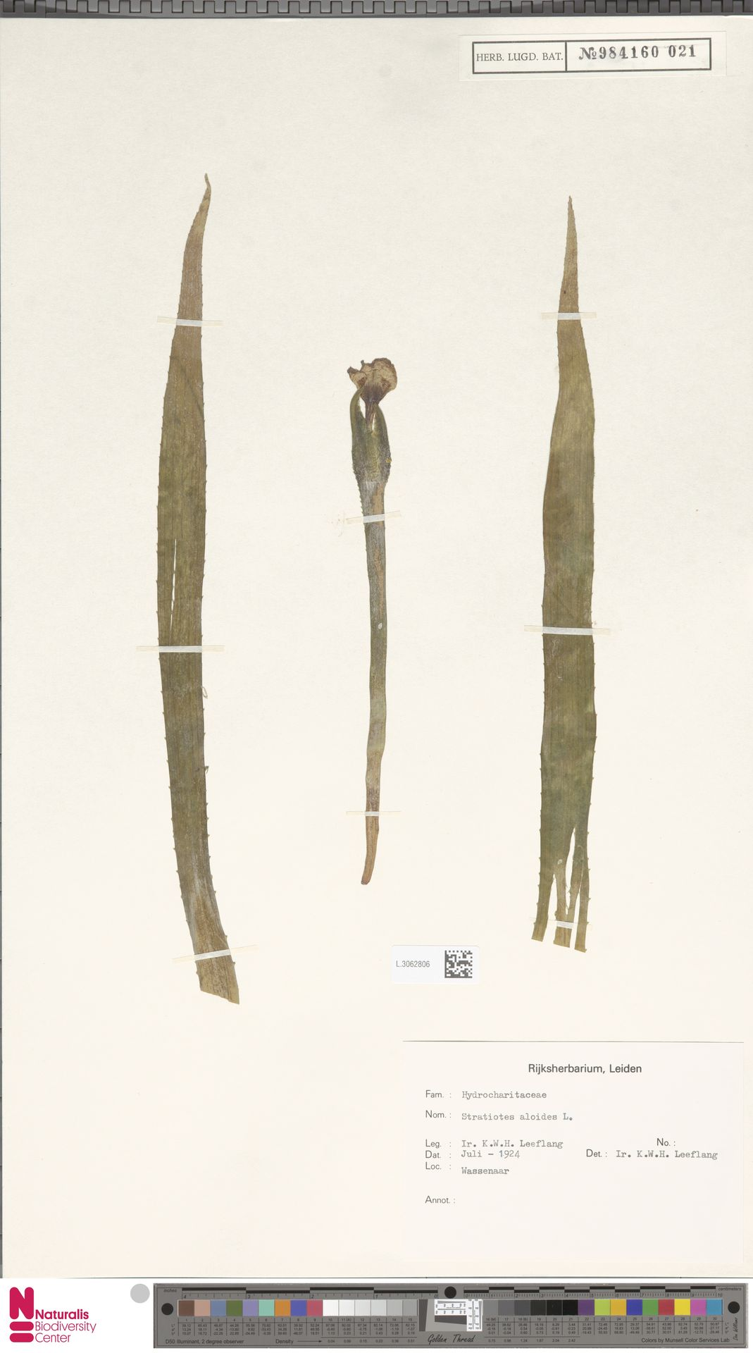 L.3062806 | Stratiotes aloides L.