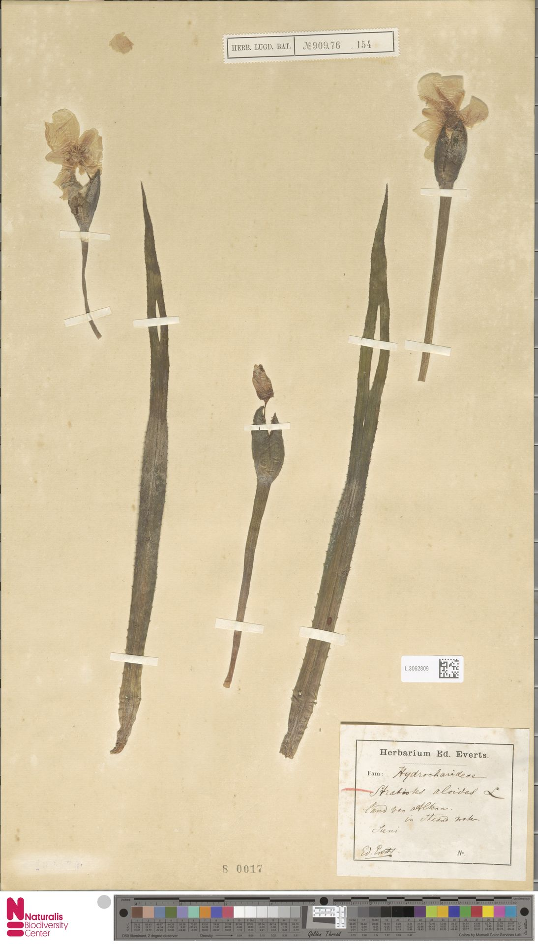 L.3062809 | Stratiotes aloides L.