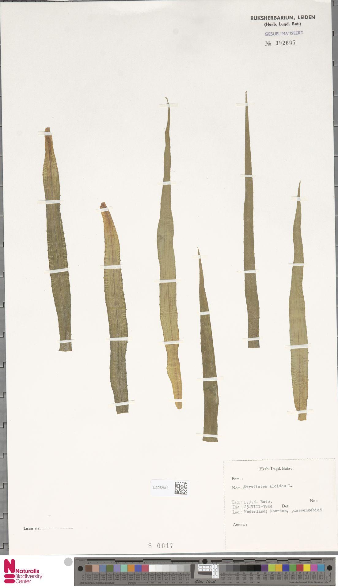 L.3062812   Stratiotes aloides L.