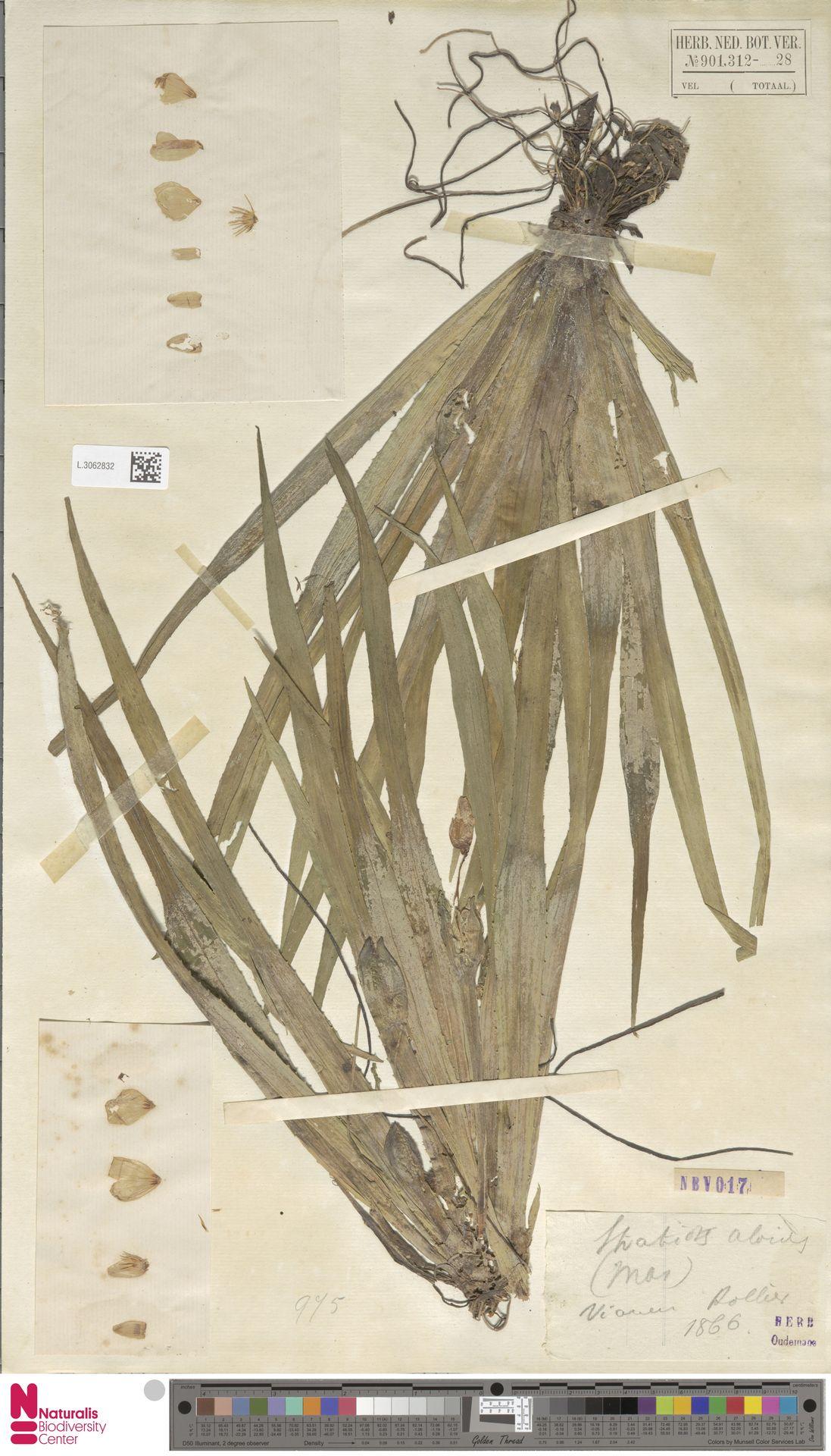 L.3062832 | Stratiotes aloides L.
