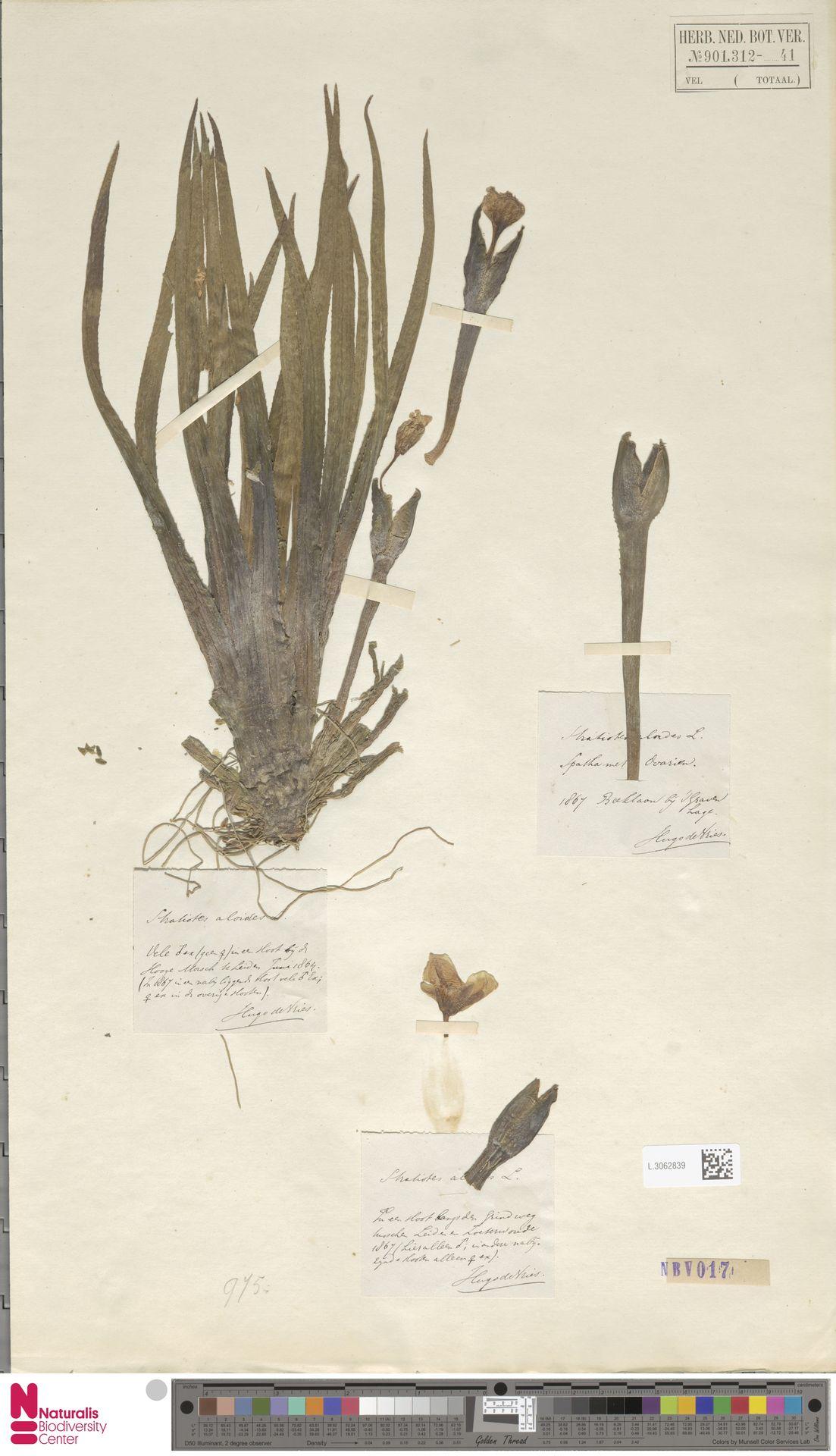 L.3062839   Stratiotes aloides L.