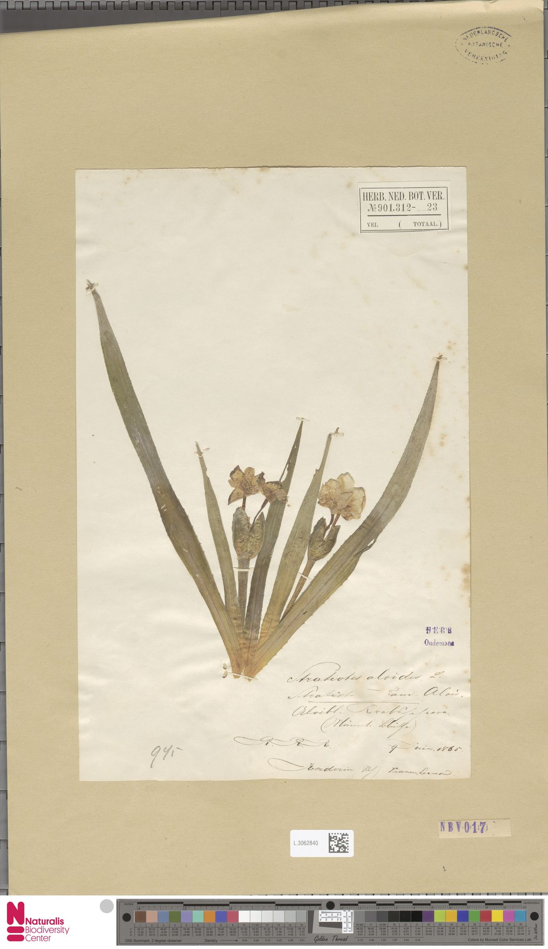 L.3062840   Stratiotes aloides L.