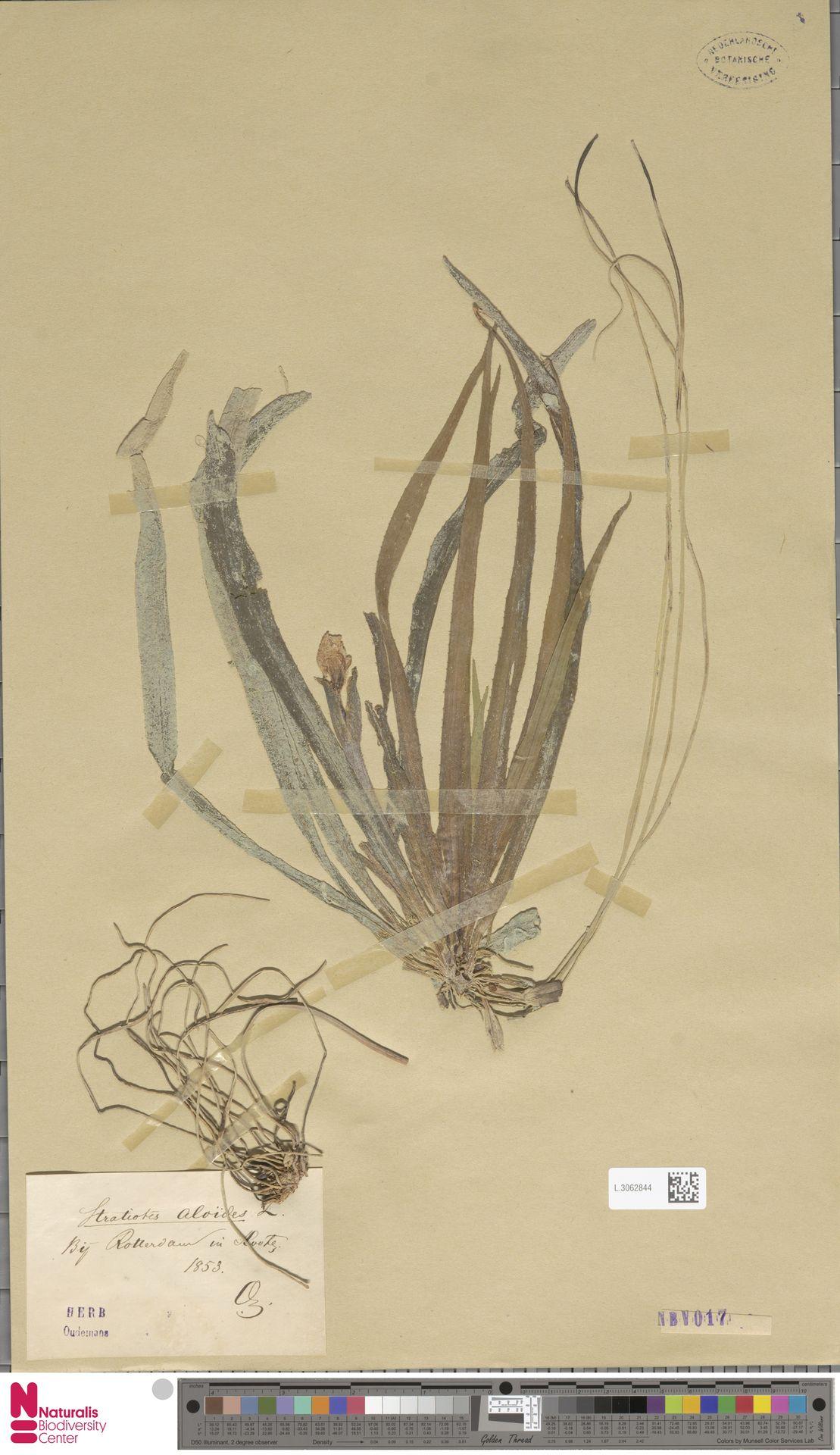 L.3062844 | Stratiotes aloides L.