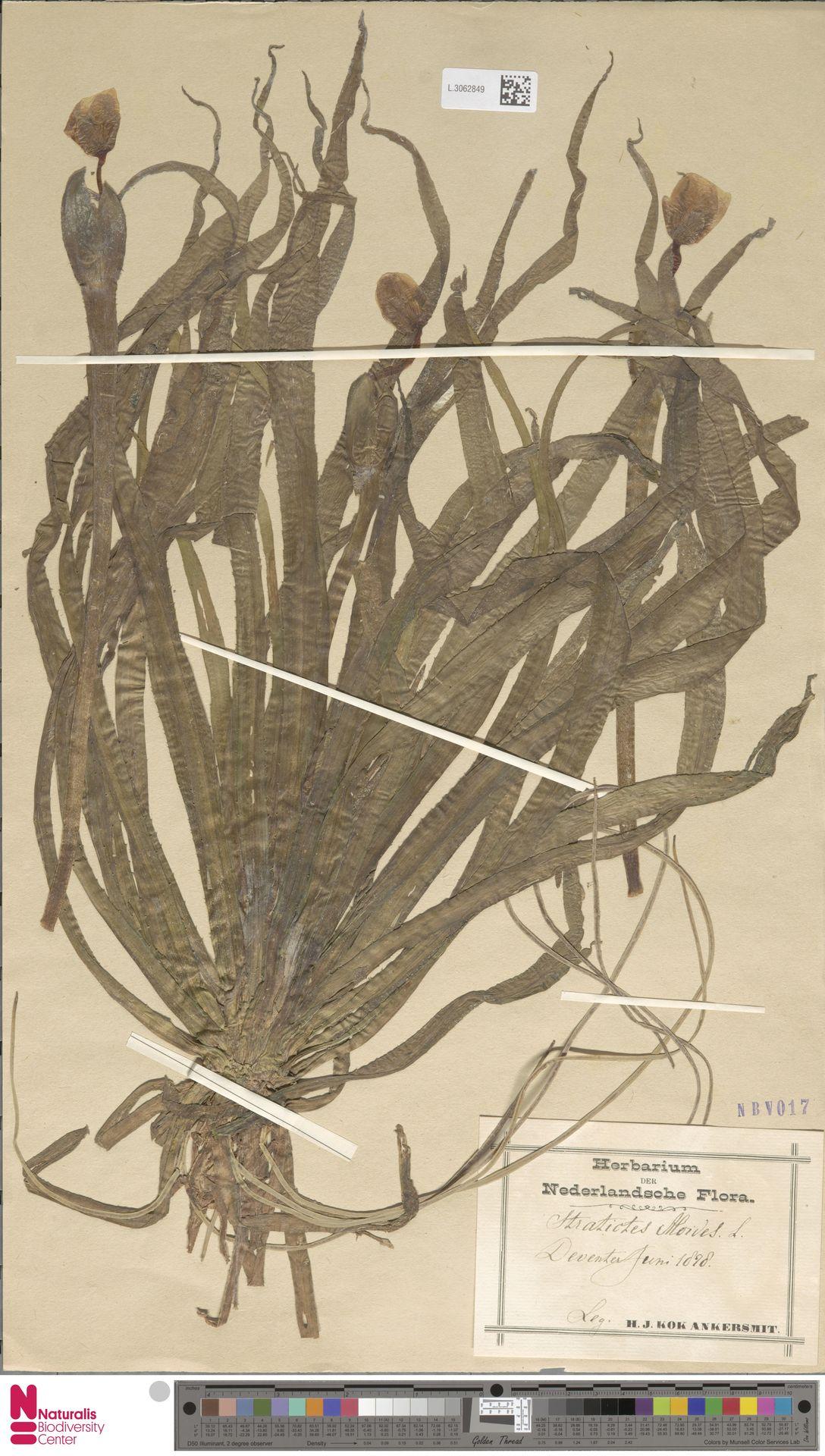 L.3062849   Stratiotes aloides L.
