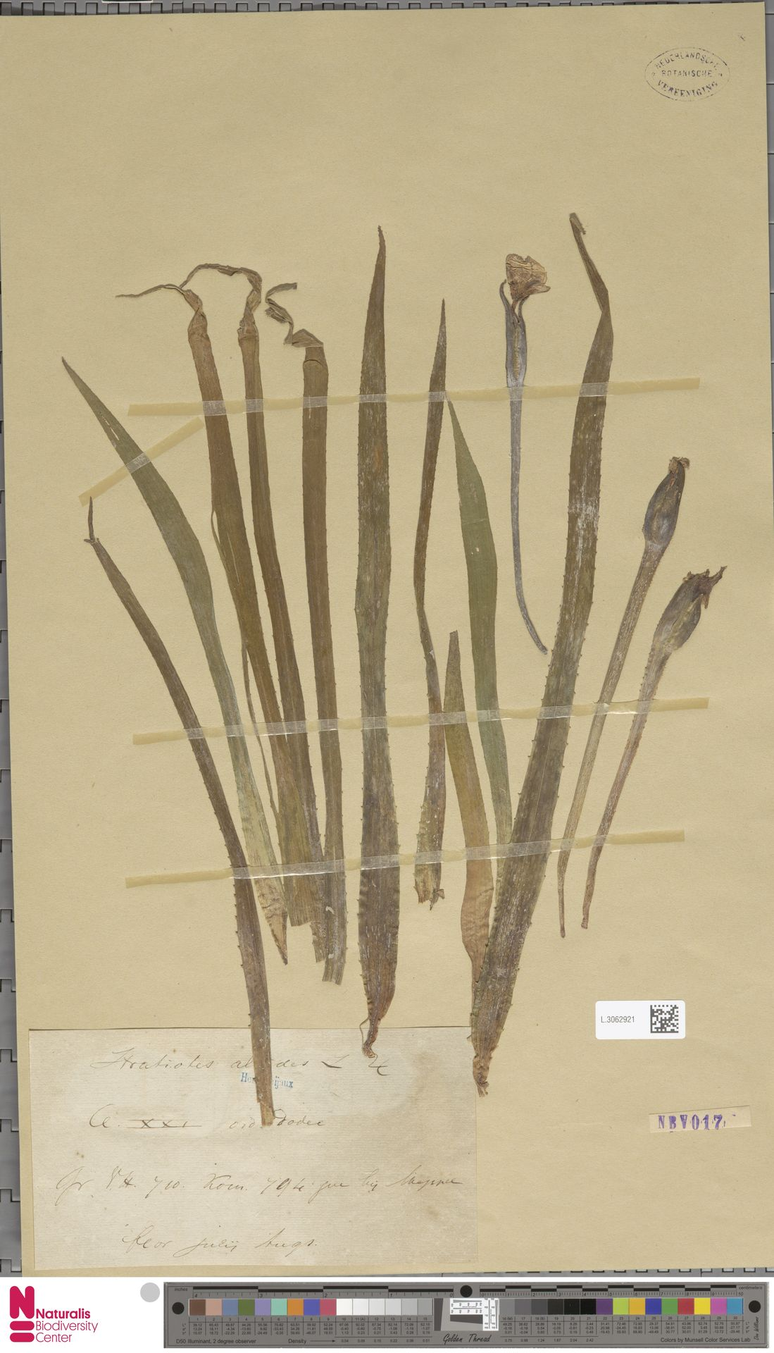 L.3062921 | Stratiotes aloides L.