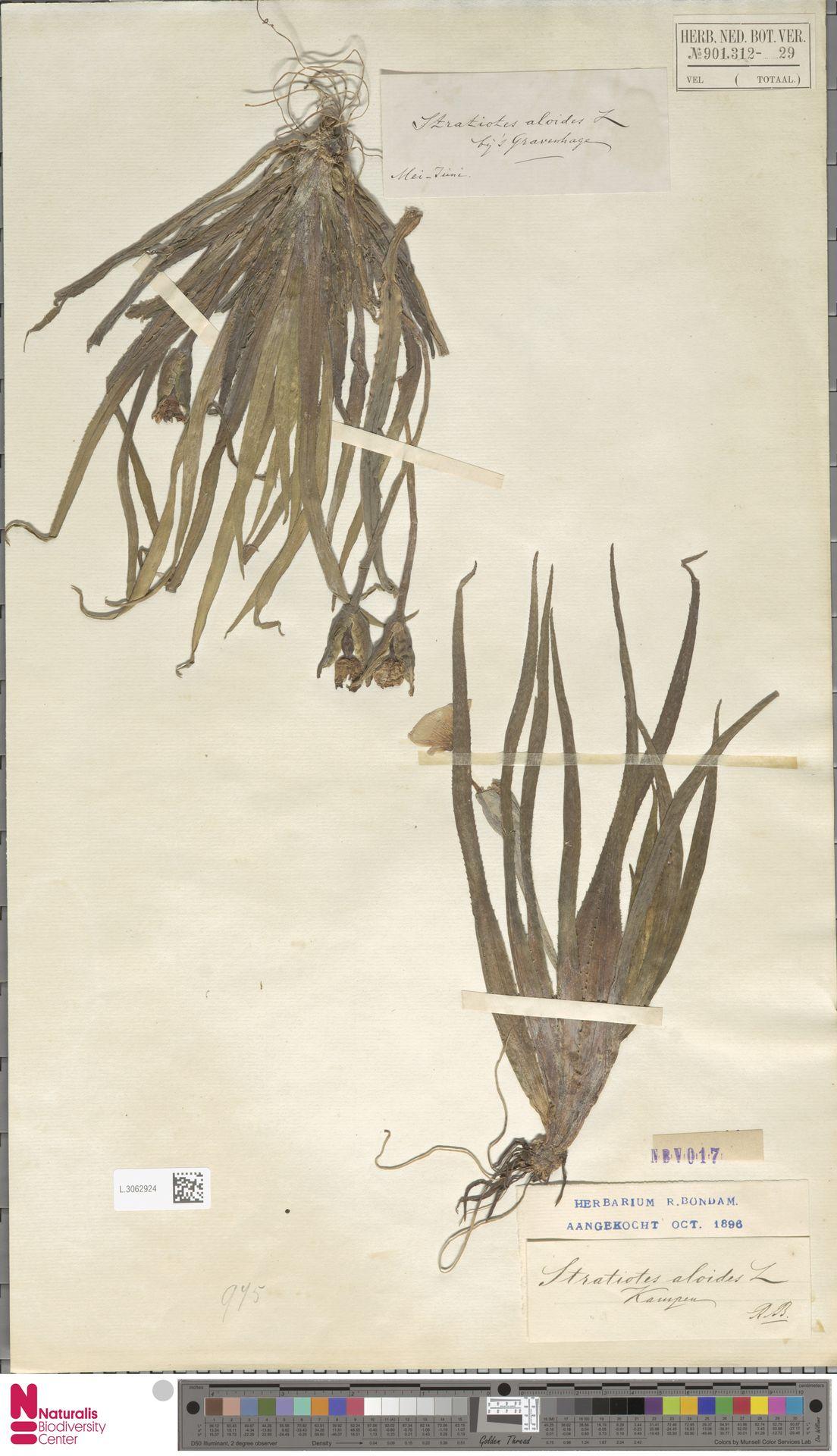 L.3062924 | Stratiotes aloides L.