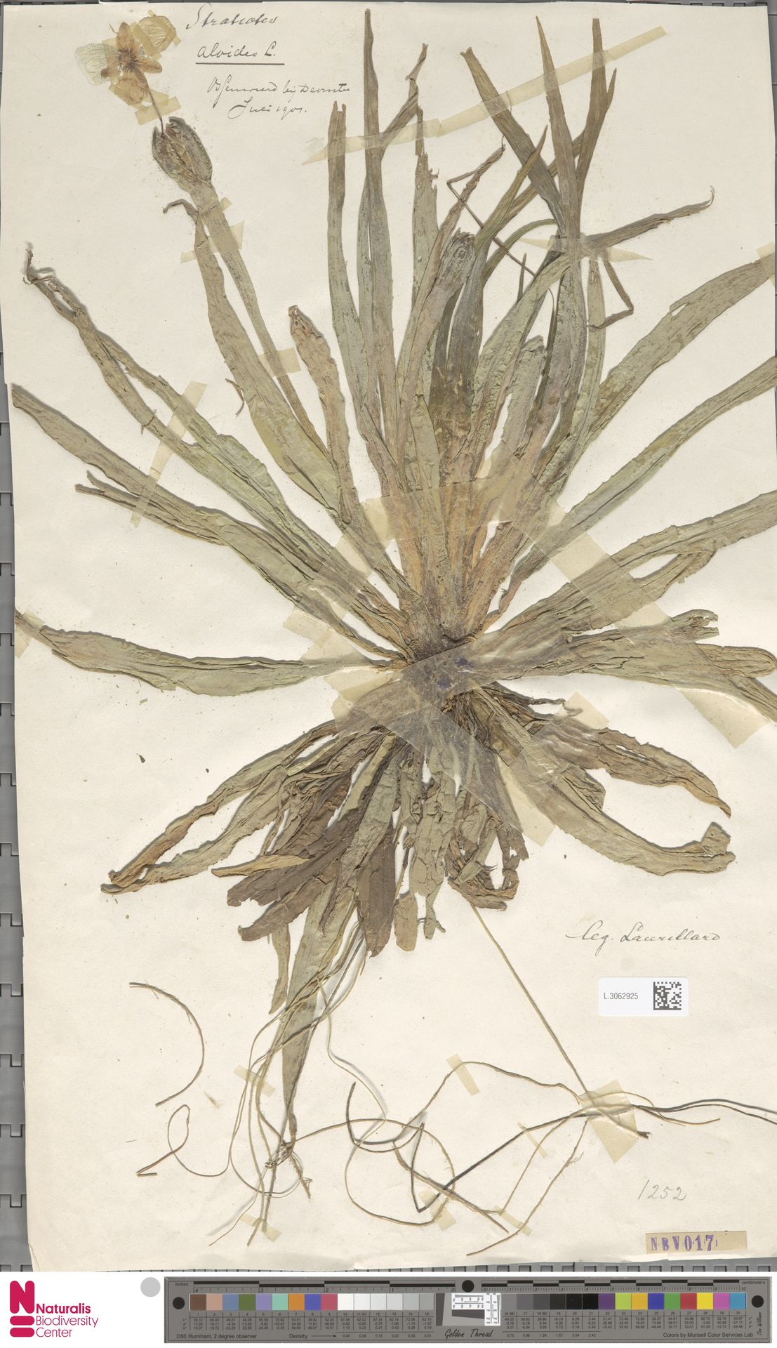 L.3062925 | Stratiotes aloides L.