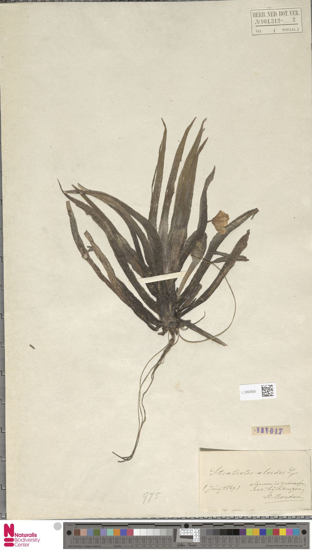 L.3062926 | Stratiotes aloides L.