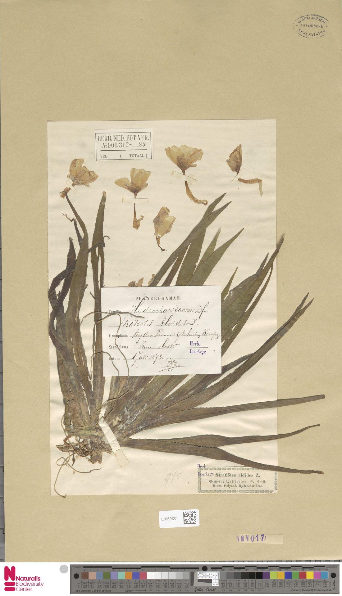 L.3062927 | Stratiotes aloides L.