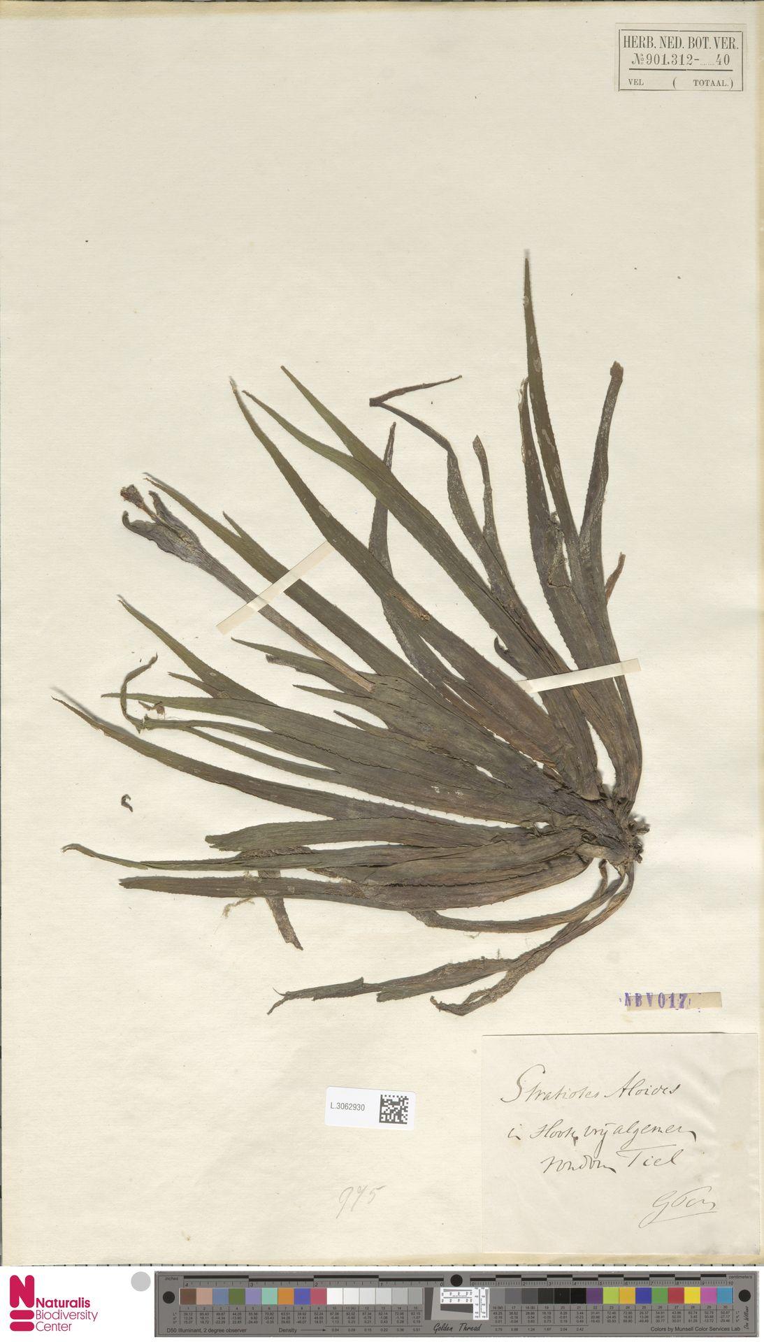 L.3062930 | Stratiotes aloides L.