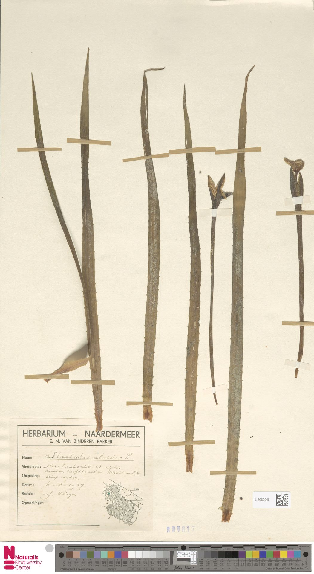 L.3062948 | Stratiotes aloides L.