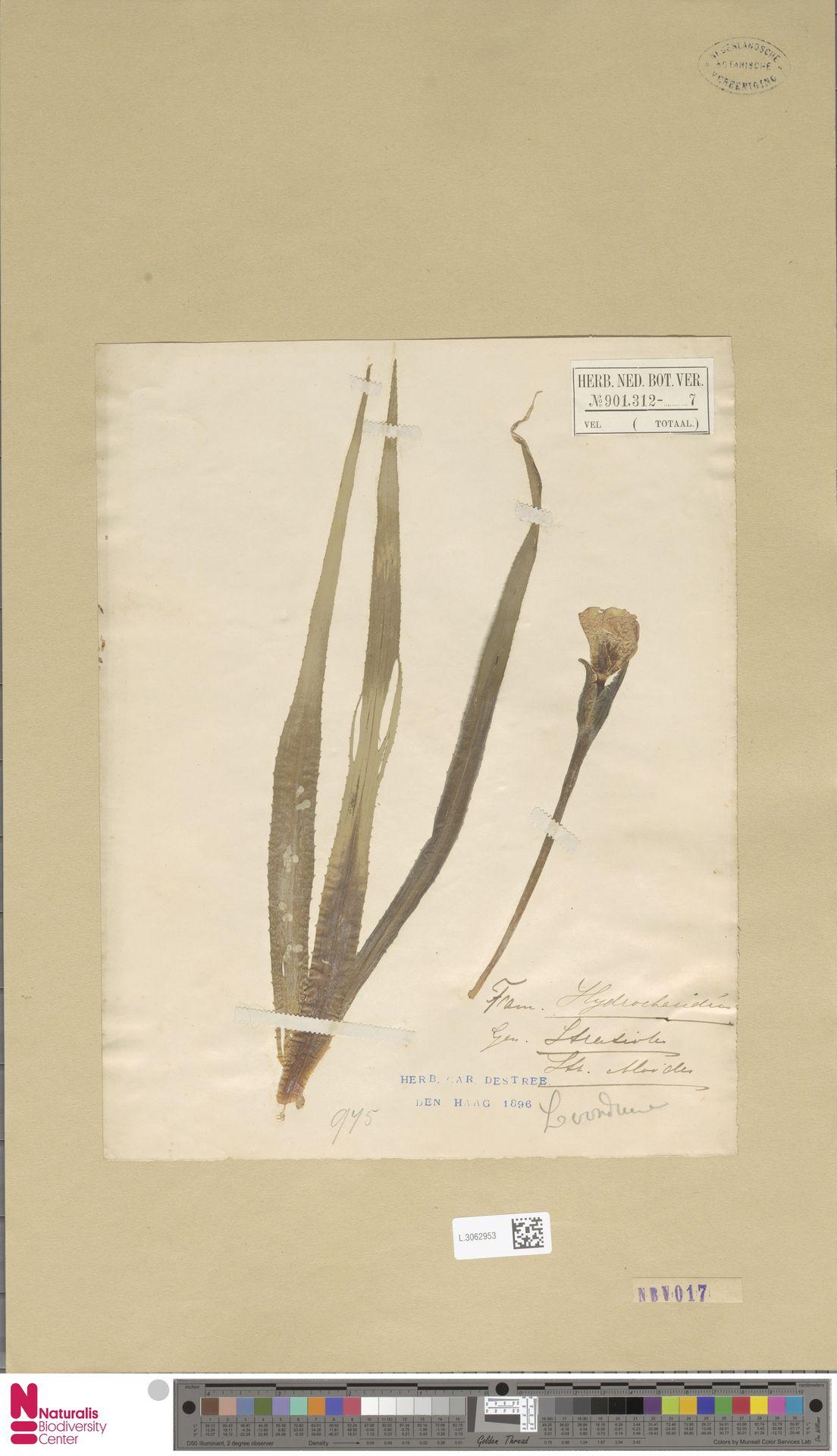 L.3062953 | Stratiotes aloides L.