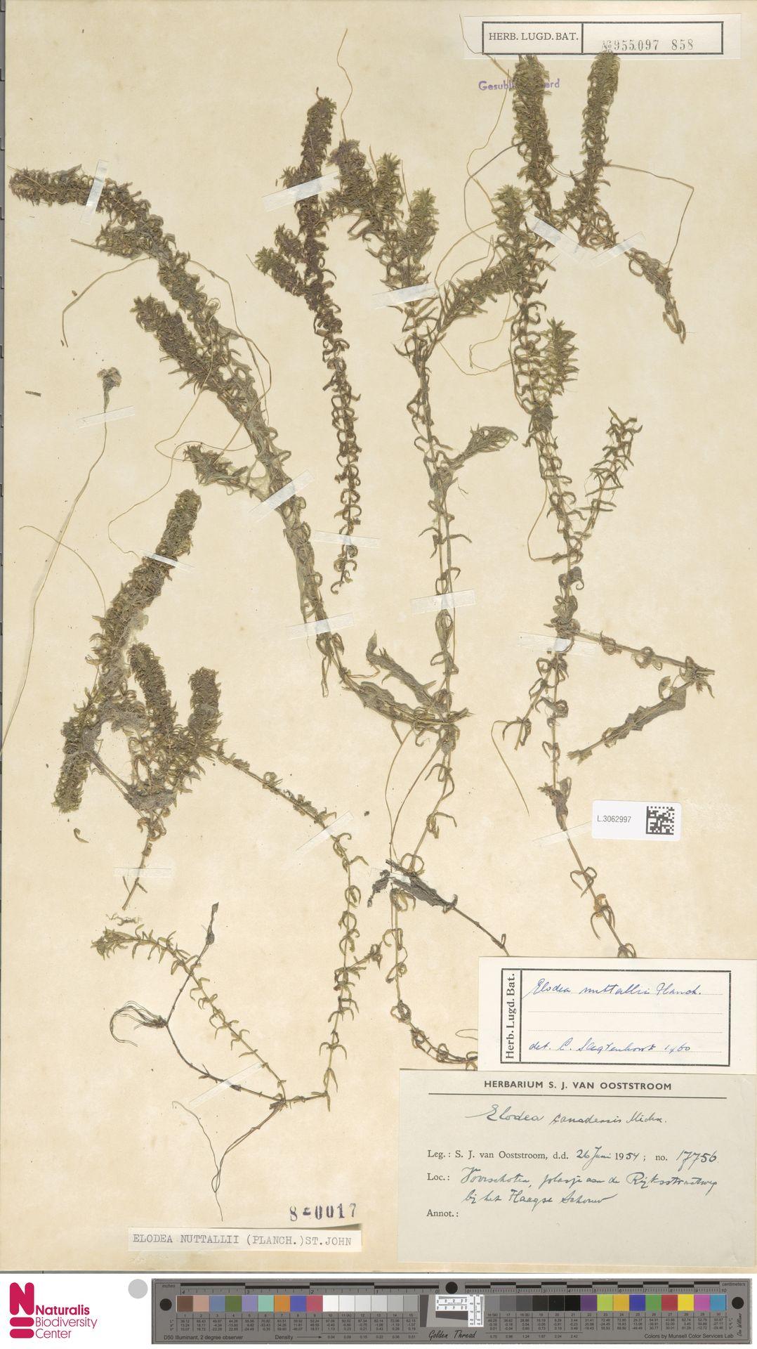 L.3062997 | Elodea nuttallii (Planch.) H.St.John