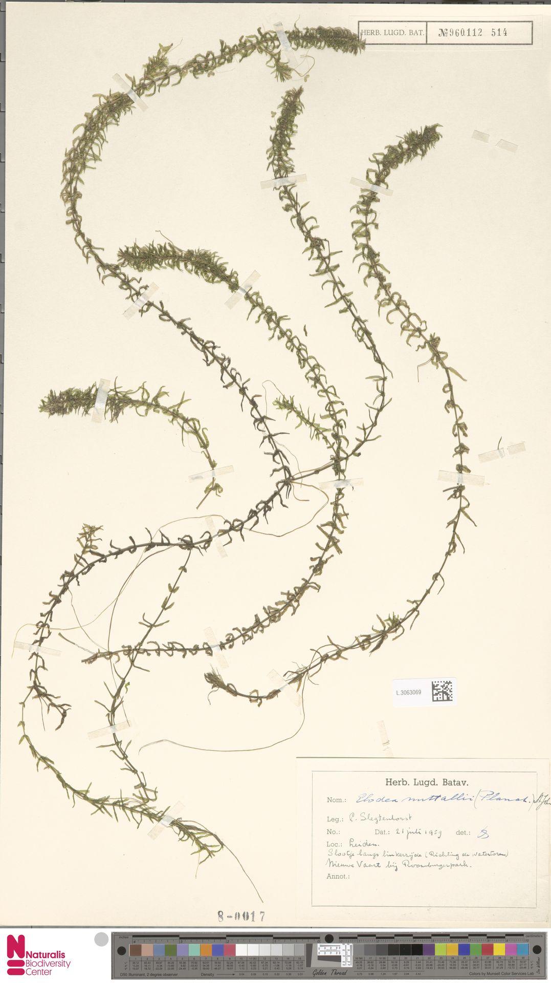 L.3063069 | Elodea nuttallii (Planch.) H.St.John
