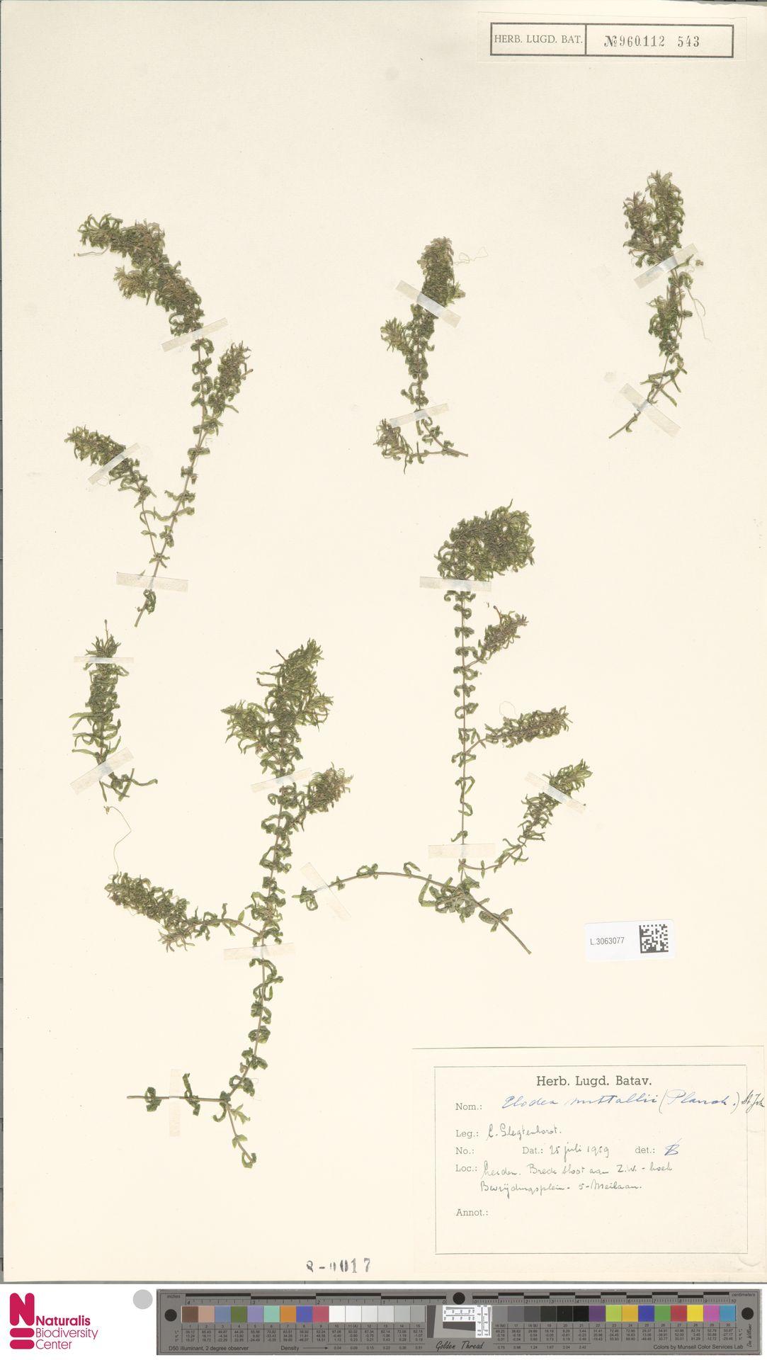 L.3063077 | Elodea nuttallii (Planch.) H.St.John