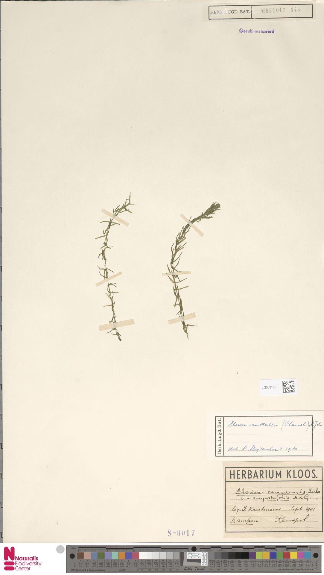 L.3063185   Elodea nuttallii (Planch.) H.St.John