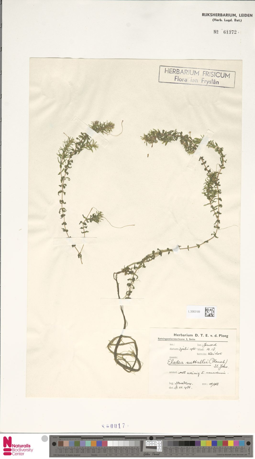L.3063189 | Elodea nuttallii (Planch.) H.St.John