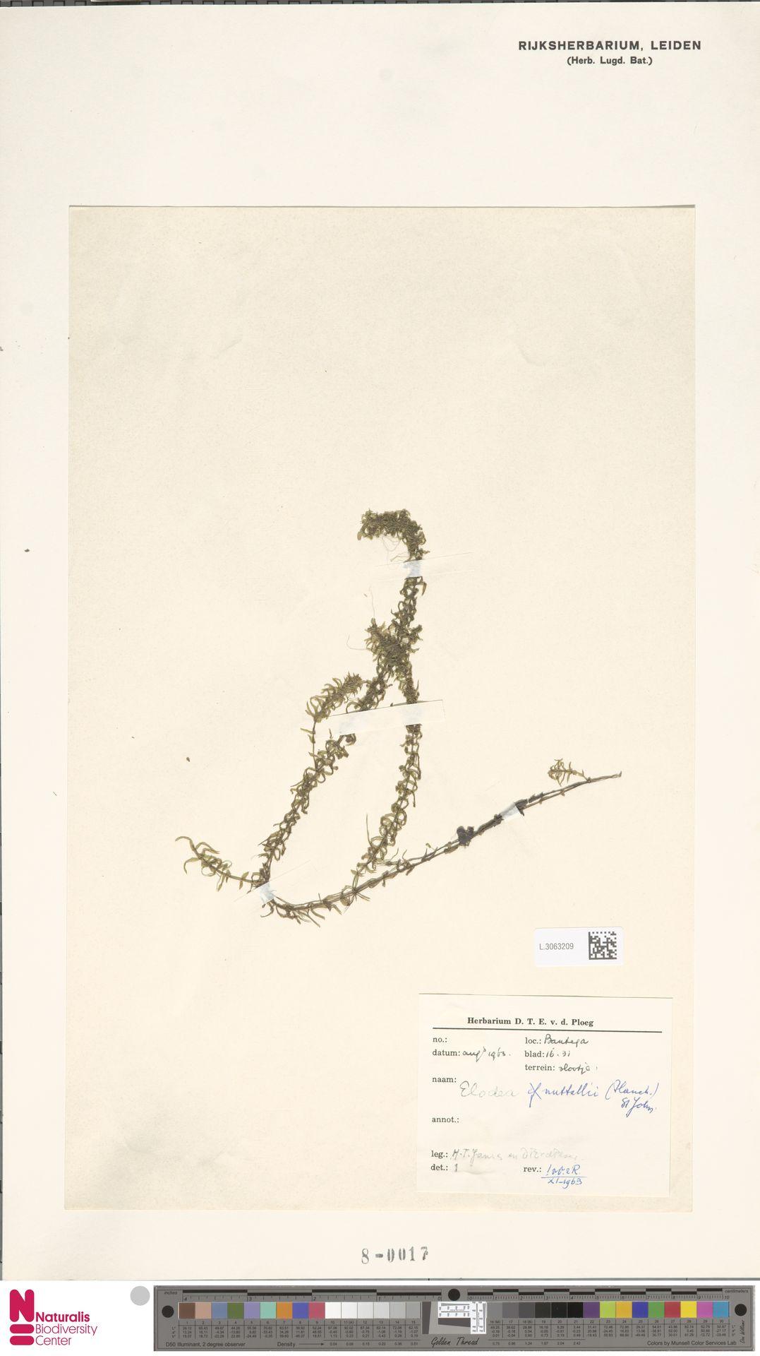 L.3063209 | Elodea nuttallii (Planch.) H.St.John