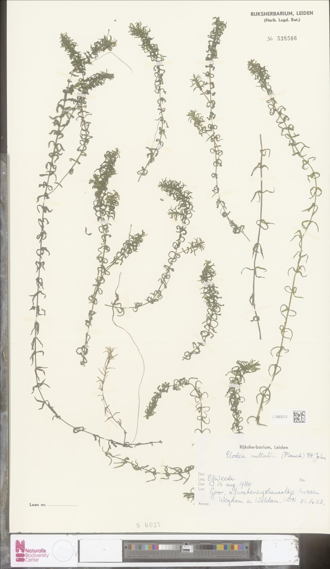 L.3063213 | Elodea nuttallii (Planch.) H.St.John