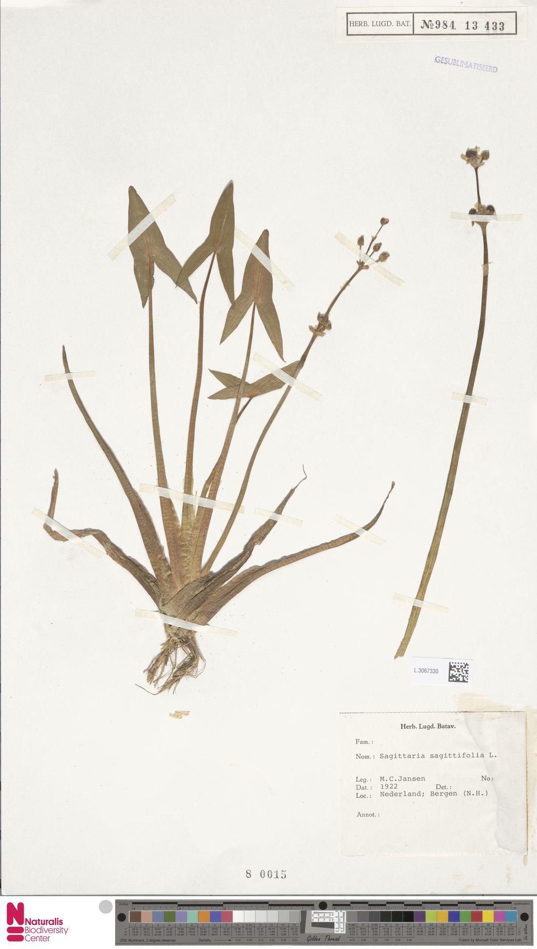 L.3067330 | Sagittaria sagittifolia L.