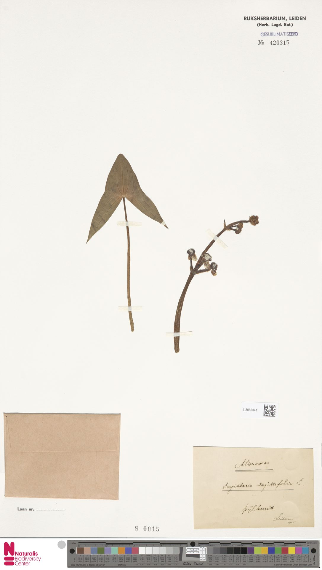 L.3067341 | Sagittaria sagittifolia L.