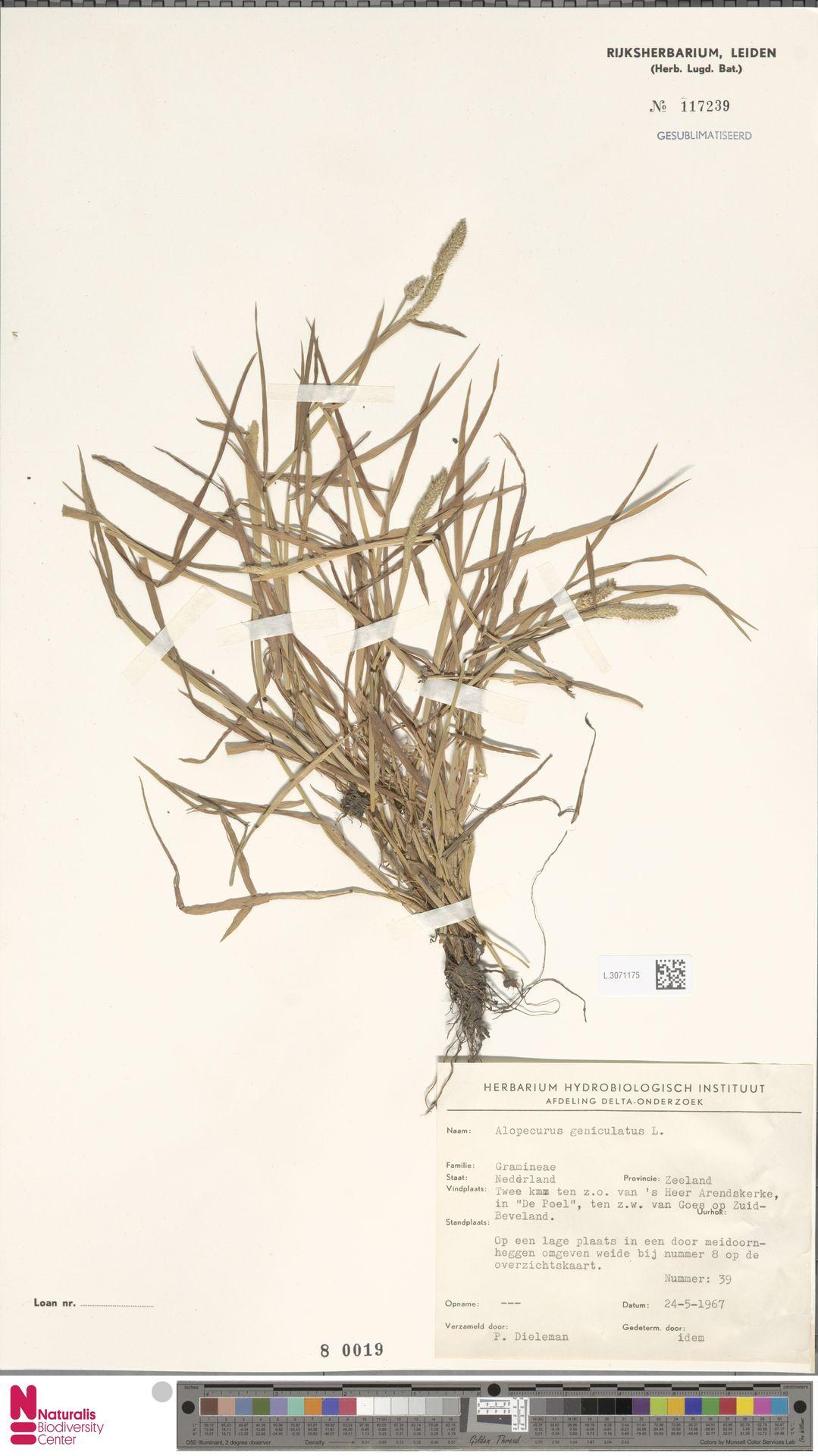 L.3071175 | Alopecurus geniculatus L.