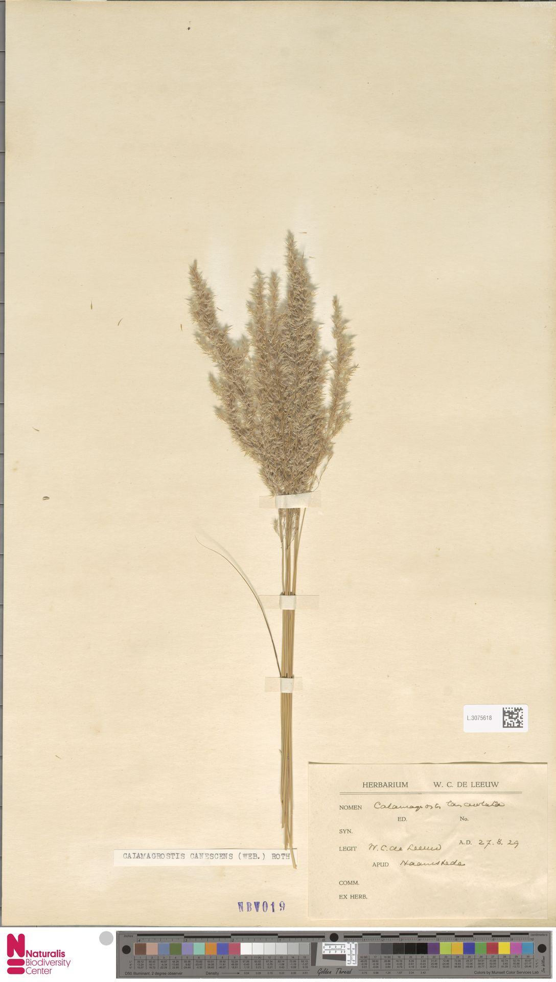 L.3075618 | Calamagrostis canescens (Weber) Roth