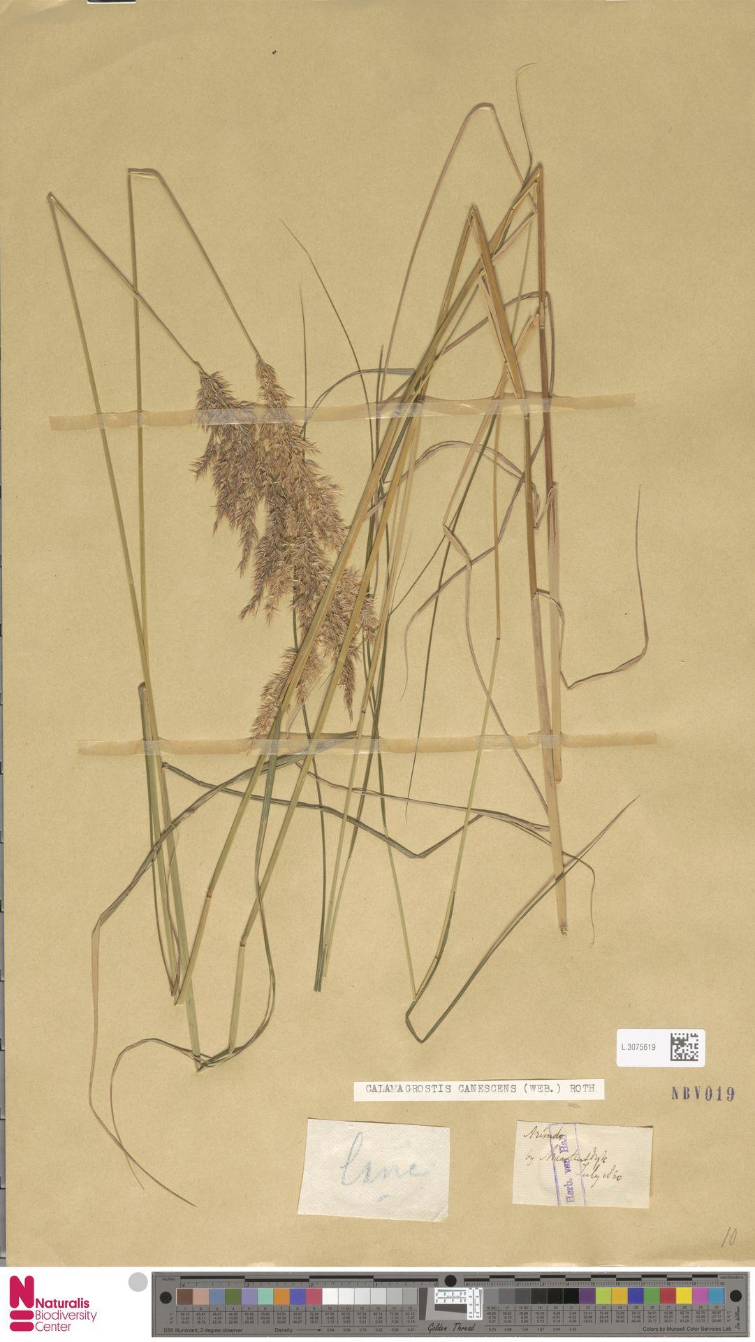 L.3075619 | Calamagrostis canescens (Weber) Roth