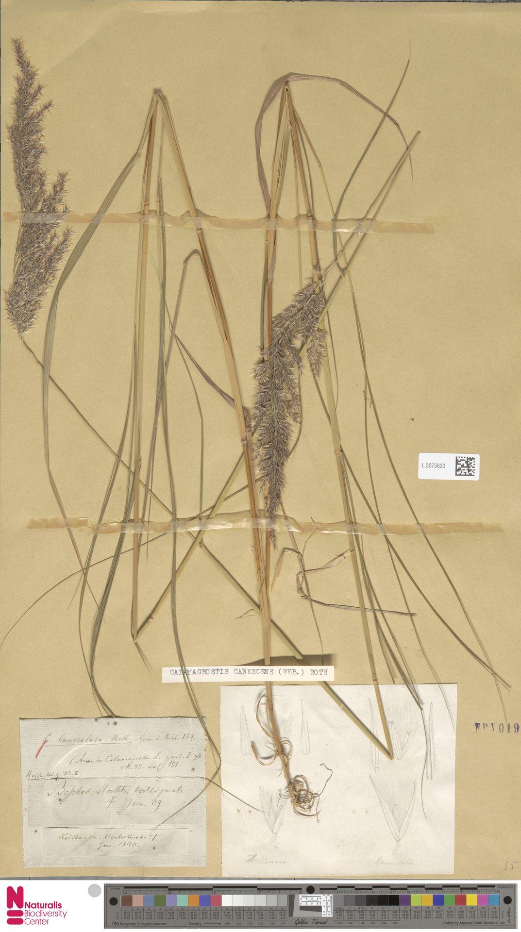 L.3075620 | Calamagrostis canescens (Weber) Roth