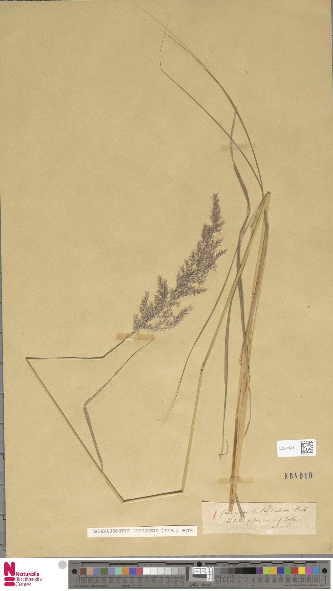 L.3075621 | Calamagrostis canescens (Weber) Roth