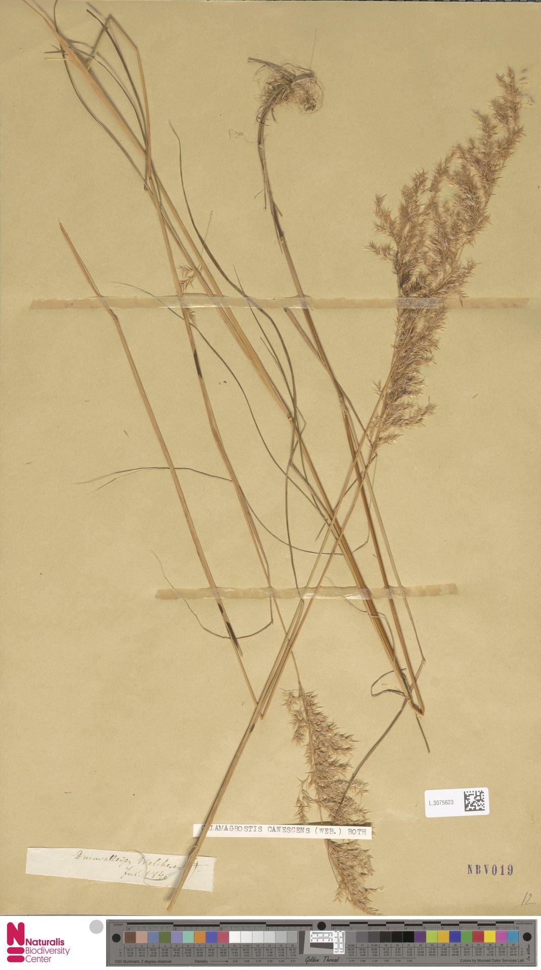 L.3075623 | Calamagrostis canescens (Weber) Roth