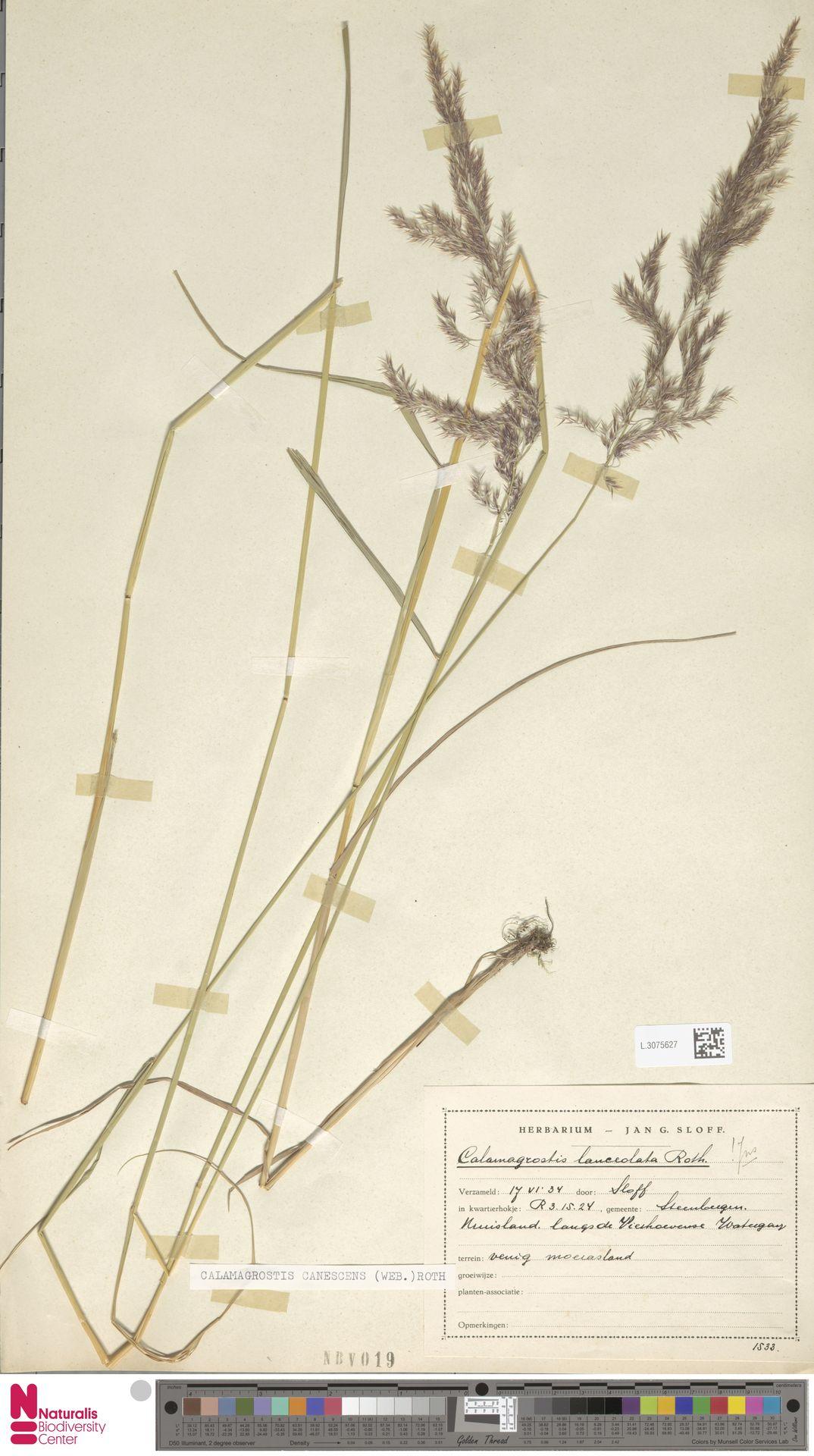 L.3075627 | Calamagrostis canescens (Weber) Roth